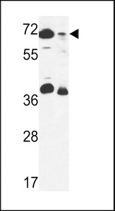 GSPT2 Antibody - ERF3B Antibody western blot of 293 cell line and mouse stomach tissue lysates (35 ug/lane). The ERF3B antibody detected the ERF3B protein (arrow).