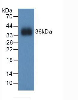 Western Blot; Sample: Recombinant GR, Mouse.