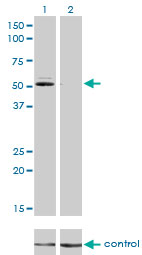 GSR / Glutathione Reductase Antibody - Western blot of GSR over-expressed 293 cell line, cotransfected with GSR Validated Chimera RNAi (Lane 2) or non-transfected control (Lane 1). Blot probed with GSR monoclonal antibody, clone 6B4. GAPDH ( 36.1 kD ) used as specificity and l.