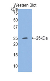 Western blot of recombinant GSS / Glutathione Synthetase.  This image was taken for the unconjugated form of this product. Other forms have not been tested.