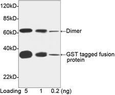 GST / Glutathione S-Transferase Antibody - Western blot of GST-tagged fusion protein using THETM GST Antibody [Biotin], mAb, Mouse (THETM GST Antibody [Biotin], mAb, Mouse, 1 ug/ml) The signal was developed with Streptavidin-HRP and LumiSensor HRP Substrate Kit. Predicted Size: 31 kD Observed Size: 31 kD This image was taken for the unconjugated form of this product. Other forms have not been tested.