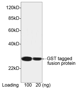 GST / Glutathione S-Transferase Antibody - Western blot of GST-tagged fusion protein using THETM GST Antibody [HRP], mAb, Mouse (THETM GST Antibody [HRP], mAb, Mouse, 0.1 ug/ml) The signal was developed with LumiSensor HRP Substrate Kit. Predicted Size: 26 kD Observed Size: 26 kD This image was taken for the unconjugated form of this product. Other forms have not been tested.
