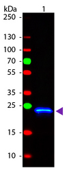 GST / Glutathione S-Transferase Antibody - Western Blot of Rabbit anti-GST Fluorescein Conjugated Antibody. Lane 1: GST. Lane 2: None. Load: 50 ng per lane. Primary antibody: None. Secondary antibody: Fluorescein rabbit secondary antibody at 1:1000 for 60 min at RT. Block: MB-070 for 30 min at RT. Predicted/Observed size: 28 kDa, 28 kDa for GST. Other band(s): None. This image was taken for the unconjugated form of this product. Other forms have not been tested.
