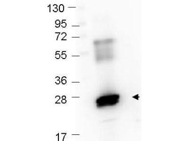 GST / Glutathione S-Transferase Antibody - Western Blot showing detection of recombinant GST protein (0.25 µg) in lane 2. MW markers are in lane 1. Protein was run on a 4-20% gel, then transferred to 0.45 µm nitrocellulose. After blocking with 1% BSA-TTBS overnight at 4°C, primary antibody was used at 1:1000 at room temperature for 30 min. HRP-conjugated Goat-Anti-Rabbit secondary antibody was used at 1:40,000 in MB-070 blocking buffer and