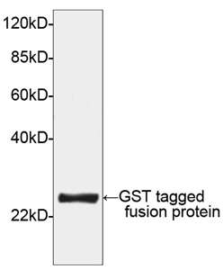GST Tag Antibody - Western blot of GST-tagged fusion protein using GST-tag Antibody [HRP], pAb, Rabbit (GST-tag Antibody [HRP], pAb, Rabbit, 1 ug/ml) The signal was developed with DAB substrate (AMRESCO). Predicted Size: 26 kD Observed Size: 26 kD This image was taken for the unconjugated form of this product. Other forms have not been tested.