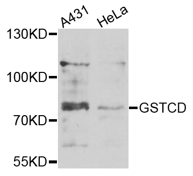 GSTCD Antibody - Western blot analysis of extracts of various cells.