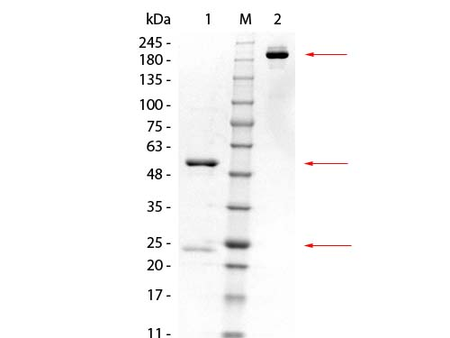 GSTK1 Antibody - SDS-PAGE of Mouse anti-GSTK1 Monoclonal Antibody. Lane 1: Reduced Mouse anti-GSTK1 Monoclonal Antibody. Lane 2: 3 µL OPAL Pre-stained Marker Lane 3: Non-reduced Mouse anti-GSTK1 Monoclonal Antibody. Load: 1 µg per lane. Predicted/Observed size: Non-reduced at 160 kDa/observed at 180-200 kDa; Reduced at 55, 25 kDa. Non-reduced migrates at slightly higher molecular weight.