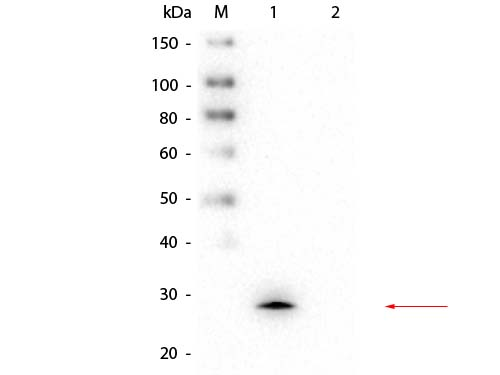 GSTM1 Antibody - Western Blot of Mouse anti-GSTM1 Monoclonal Antibody. Lane 1: rGSTM1 protein. Lane 2: GST. Load: 50 ng per lane. Primary antibody: Mouse anti-GSTM1 Monoclonal Antibody at 1:1,000 overnight at 4°C. Secondary antibody: Peroxidase conjugated Rb-a-Ms IgG at 1:40,000 for 30 min at RT. Block: MB-070 for 30 min at RT. Predicted/Observed size: 27 kDa, 27 kDa for GSTM1.
