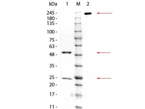 GSTZ1 Antibody - SDS-PAGE of Mouse anti-GSTZ1 Monoclonal Antibody. Lane 1: Reduced Mouse anti-GSTZ1 Monoclonal Antibody. Lane 2: 3 µL OPAL Pre-stained Marker Lane 3: Non-reduced Mouse anti-GSTZ1 Monoclonal Antibody. Load: 1 µg per lane. Predicted/Observed size: Non-reduced at 160 kDa/observed at 180-200 kDa; Reduced at 55, 25 kDa. Non-reduced migrates at slightly higher molecular weight.