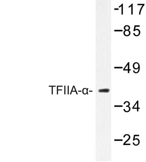 Western blot of TFIIA- (E311) pAb in extracts from RAW264.7 cells.