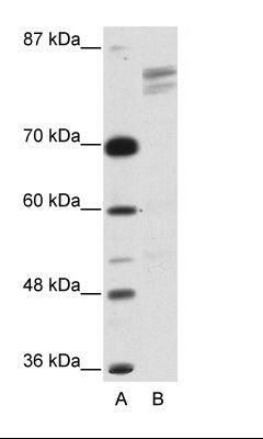A: Marker, B: HepG2 Cell Lysate.  This image was taken for the unconjugated form of this product. Other forms have not been tested.