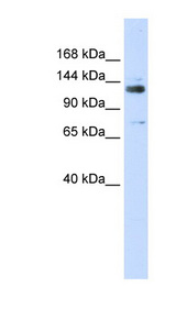 GTF2I / TFII-I antibody LS-C102734 Western blot of 293T cell lysate.  This image was taken for the unconjugated form of this product. Other forms have not been tested.