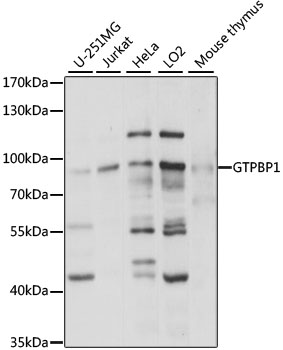 GTPBP1 / GP1 Antibody - Western blot analysis of extracts of various cell lines, using GTPBP1 antibody at 1:1000 dilution. The secondary antibody used was an HRP Goat Anti-Rabbit IgG (H+L) at 1:10000 dilution. Lysates were loaded 25ug per lane and 3% nonfat dry milk in TBST was used for blocking. An ECL Kit was used for detection and the exposure time was 3s.