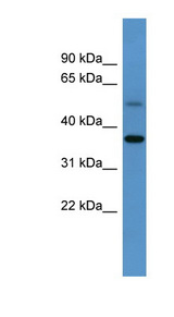 Anti-GYG1 antibody western blot of Mouse Kidney lysate.  This image was taken for the unconjugated form of this product. Other forms have not been tested.