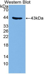Western blot of recombinant GYPC / Glycophorin C.