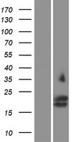 GYPC / Glycophorin C Protein - Western validation with an anti-DDK antibody * L: Control HEK293 lysate R: Over-expression lysate