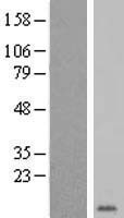 GYPE Protein - Western validation with an anti-DDK antibody * L: Control HEK293 lysate R: Over-expression lysate