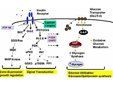 GYS1 / Glycogen Synthase Antibody - Diagram of glycogen synthase as a component of insulin signal transduction pathways.