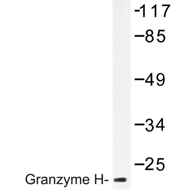 Western blot of Granzyme H (G75) pAb in extracts from K562 cells.