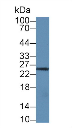 Western Blot; Sample: Human Jurkat cell lysate; Primary Ab: 1µg/ml Rabbit Anti-Human GZMM Antibody Second Ab: 0.2µg/mL HRP-Linked Caprine Anti-Rabbit IgG Polyclonal Antibody (Catalog: SAA544Rb19