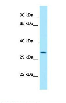 HABP4 Antibody - Western blot of Human HepG2. HABP4 antibody dilution 1.0 ug/ml.  This image was taken for the unconjugated form of this product. Other forms have not been tested.