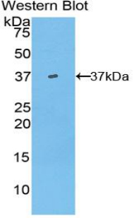Western blot of recombinant HAMP / Hepcidin.  This image was taken for the unconjugated form of this product. Other forms have not been tested.