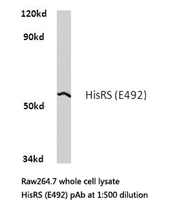 Western blot of HisRS (E492) pAb in extracts from raw264.7 cells.