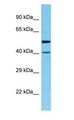 HAT1 antibody Western Blot of Rat Pancreas.  This image was taken for the unconjugated form of this product. Other forms have not been tested.
