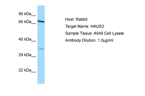 HAUS3 / C4orf15 Antibody -  This image was taken for the unconjugated form of this product. Other forms have not been tested.
