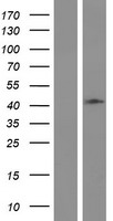 HAUS4 Protein - Western validation with an anti-DDK antibody * L: Control HEK293 lysate R: Over-expression lysate