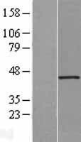 HAUS7 Protein - Western validation with an anti-DDK antibody * L: Control HEK293 lysate R: Over-expression lysate