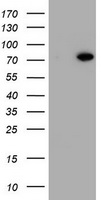 HBS1L Antibody - HEK293T cells were transfected with the pCMV6-ENTRY control (Left lane) or pCMV6-ENTRY HBS1L (Right lane) cDNA for 48 hrs and lysed. Equivalent amounts of cell lysates (5 ug per lane) were separated by SDS-PAGE and immunoblotted with anti-HBS1L.