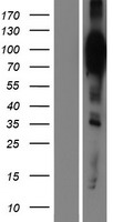 HCN2 Protein - Western validation with an anti-DDK antibody * L: Control HEK293 lysate R: Over-expression lysate