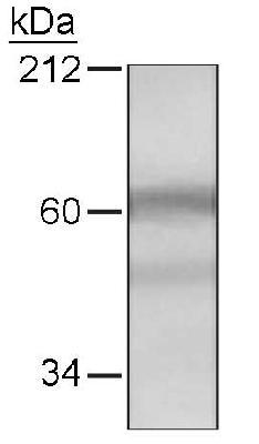 Western blot of HDAC10 in HeLa cells with an LS-C2681 at a 1:250 dilution.