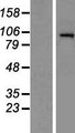 HDAC7 Protein - Western validation with an anti-DDK antibody * L: Control HEK293 lysate R: Over-expression lysate