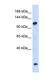HEATR4 Antibody - HEATR4 antibody Western blot of 293T cell lysate. This image was taken for the unconjugated form of this product. Other forms have not been tested.