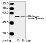 Hemagglutinin / HA Tag Antibody - Western blot of Multiple Tag using HA Tag Antibody [HRP], mAb, Mouse (0. 5 ug/ml). . Predicted Size: 52 kD. Observed Size: 52 kD. This image was taken for the unconjugated form of this product. Other forms have not been tested.