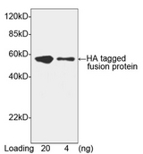 Hemagglutinin / HA Tag Antibody - Western blot of HA-tagged fusion protein using HA-tag Antibody, pAb, Goat (HA-tag Antibody, pAb, Goat, 1 ug/ml) The signal was developed with Donkey Anti-Goat IgG (H&L) [HRP] Polyclonal Antibody and LumiSensor HRP Substrate Kit Predicted Size: 52 kD Observed Size: 52 kD