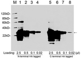 Western blot of HA tagged fusion protein using 1 ug/ml Goat Anti-HA-tag Polyclonal Antibody HA-tag Antibody, pAb, Goat Lane 1-8: N-terminal or C-terminal HA tagged fusion protein cell lysate (~31 kD) Secondary antibody: Donkey Anti-Goat IgG (H&L) [HRP] Polyclonal Antibody The signal was developed with LumiSensor HRP Substrate Kit