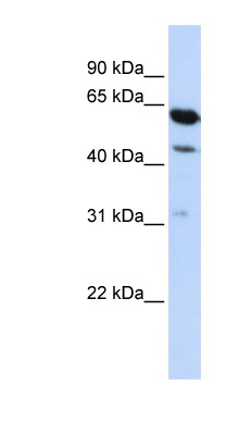 HEPACAM2 antibody Western blot of HepG2 cell lysate.  This image was taken for the unconjugated form of this product. Other forms have not been tested.