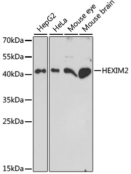 HEXIM2 Antibody - Western blot analysis of extracts of various cell lines, using HEXIM2 antibody at 1:1000 dilution. The secondary antibody used was an HRP Goat Anti-Rabbit IgG (H+L) at 1:10000 dilution. Lysates were loaded 25ug per lane and 3% nonfat dry milk in TBST was used for blocking. An ECL Kit was used for detection and the exposure time was 90s.