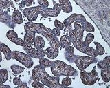 HIF-1 Alpha staining in hypoxia-induced human placenta.  This image was taken for the unconjugated form of this product. Other forms have not been tested.