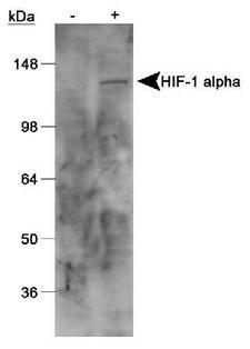 HIF1A / HIF1 Alpha Antibody - Western Blot analysis, anti-HIF-1 alpha, on cobalt chloride untreated/treated Cos 7 nuclear extracts.  This image was taken for the unconjugated form of this product. Other forms have not been tested.