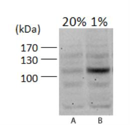 HIF1A / HIF1 Alpha Antibody - HIF-1 alpha Antibody - WB analysis of HIF-1 alpha in A. PC12 (rat) cells, 20% oxygen and B. PC12 (rat) cells, 1% oxygen.  This image was taken for the unconjugated form of this product. Other forms have not been tested.
