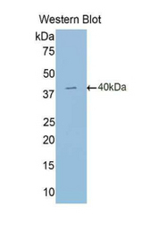 Western blot of recombinant HIF2A / EPAS1.  This image was taken for the unconjugated form of this product. Other forms have not been tested.