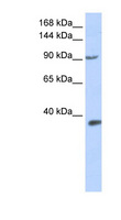 HIF2A / EPAS1 Antibody - EPAS1 / HIF2A antibody Western blot of 293T cell lysate. This image was taken for the unconjugated form of this product. Other forms have not been tested.