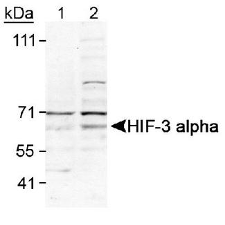 HIF3A / HIF3-Alpha Antibody - Detection of HIF-3 alpha. Lane 1: Cos7(-) control, Lane 2: Cos7-CoC12(+) Control.  This image was taken for the unconjugated form of this product. Other forms have not been tested.