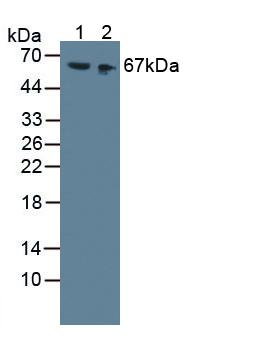 High Molecular Weight Kininogen Antibody - Western Blot; Sample: Lane1: Mouse Serum; Lane2: Mouse Kidney Tissue.