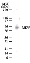 Western blot of MIZF on MOLT-4 cell lysate. Ten microgram of protein was loaded per lane of a mini gel. The antibody was used at 1:500 dilution.