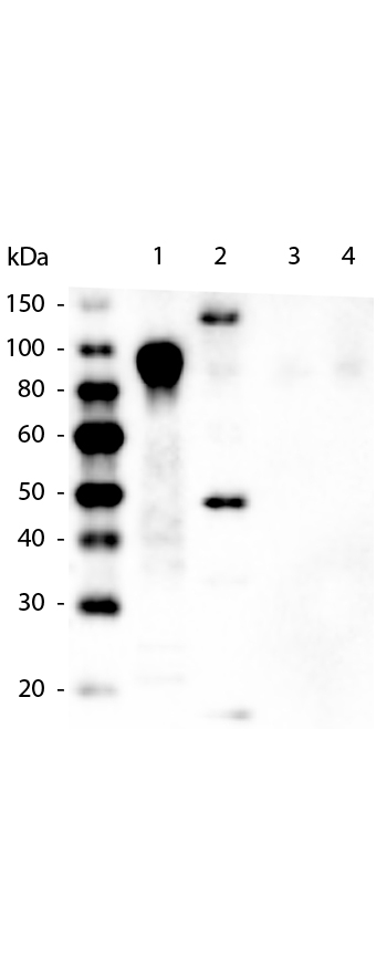 Western blot of Mouse anti-6xHIS Tag Antibody. Lane 1: 100ng Purified histidine-tagged recombinant protein. Lane 2: 200ng E. coli cell lysate containing histidine-tagged expression construct. Lane 3: 100ng Purified GST-tagged recombinant protein. Lane 4: 100ng Purified FLAG-tagged recombinant protein. Primary antibody: Mouse anti-6xHIS Tag antibody at 1:5000 overnight at 4C. Secondary antibody: Peroxidase mouse secondary antibody at 1:20000 for 30 min at RT. Block: 5% BLOTTO for 1 hr at RT. This image was taken for the unconjugated form of this product. Other forms have not been tested.